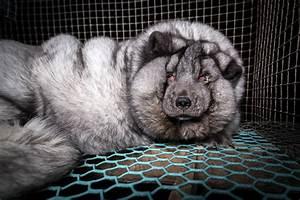 Des renards gavés à mort pour des fourrures «parfaites ...