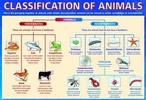 Classification Of Animals Kingdom Phylum   www.pixshark ...