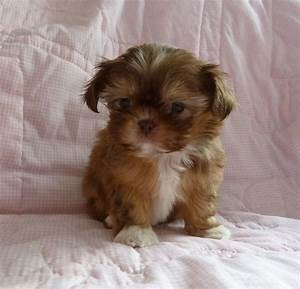 Teacup Shih Tzu Brown | Puppies | Pinterest | Shih tzus ...
