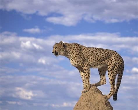 Race To Save The Cheetahs In Namibia