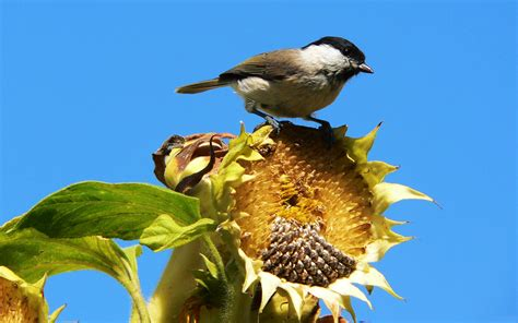wallpaper sunflower seeds sparrow bird sky desktop