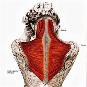 8 Best Anatom U00eda Y Fisiolog U00eda Images On Pinterest