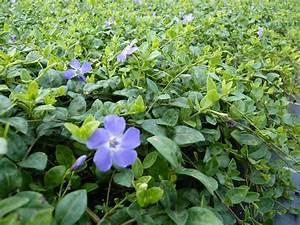 Vinca Minor Giftig : heckenpflanzen kaufen vinca minor immergr n ~ Lizthompson.info Haus und Dekorationen