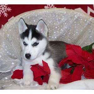 Husky Zu Verkaufen : tierforum siberian husky welpen zu verkaufen hunde inserat 29775 bitte l schen ~ Orissabook.com Haus und Dekorationen