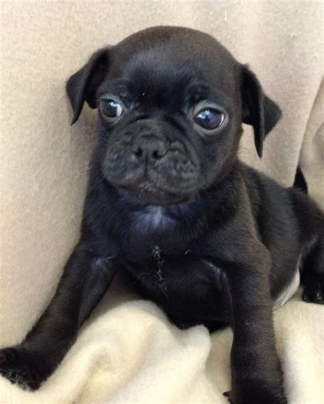 Pin Black Pug Puppies For Terrific Homes Dogs And Sale On