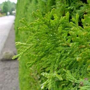 Thuja Hecke Pflanzen Zeitpunkt Standort Und Boden