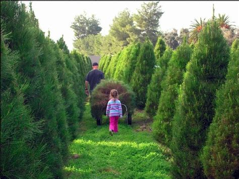 the san diego guide where to cut your own christmas tree