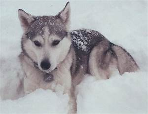 adorable, cute, dog, husky, snow - image #47611 on Favim.com