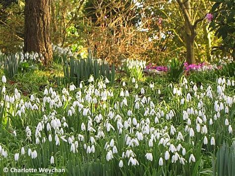 snowdrop gardens the galloping gardener see the best snowdrops in britain gardens where they bloom