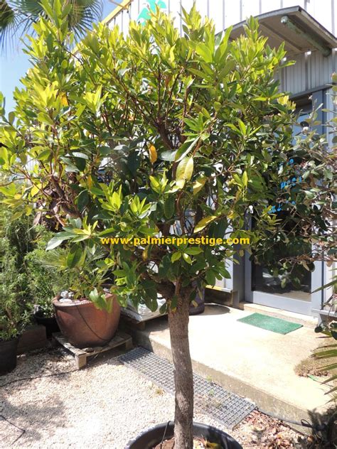 arbuste sur tige persistant en pot 28 images boronia sur tige achat boronia heterophylla