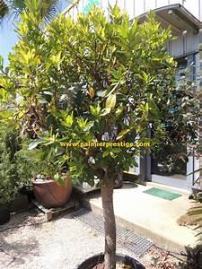 Arbuste Persistant En Pot : palmiers prestige vente de palmiers et cocotiers d ~ Premium-room.com Idées de Décoration