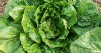 freeze lettuce leaves livestrongcom