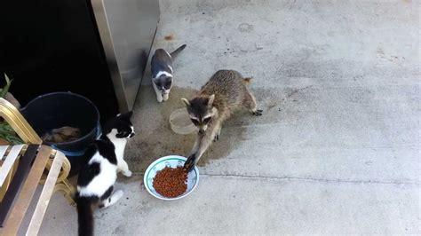 raccoon steals cats food original youtube