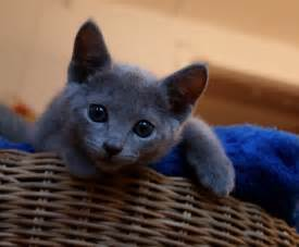 russian blue cat for russian blue kittens for russian blue 2015
