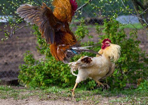 Bet adu ayam cara meruncingkan taji ayam bangkok jika dilihat dari harga sabungayam perkenalkan kita agen situs resmi glorystarbet merupakan asosiasi lagasabung ayam s128 kali ini. Harga 4 Ayam Aduan Ini Bikin Melongo!