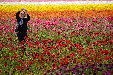 flowers in california california flower fields stun with kaleidoscope of color