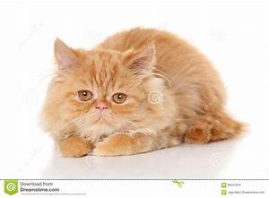 Ginger Persian Cat On White Background Stock Photo - Image ...