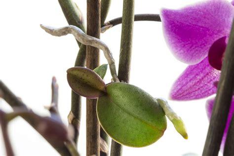Orchideen Kindel Einpflanzen by Orchideen Experten Tipps Zu Kauf Standort Pflege