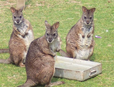 pet wallaby pet wallaby www pixshark com images galleries with a bite
