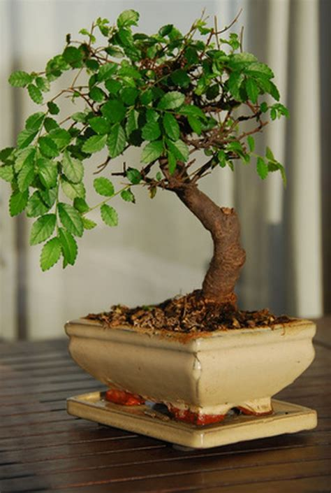 How to Grow Bonsai Trees Fast | Hunker