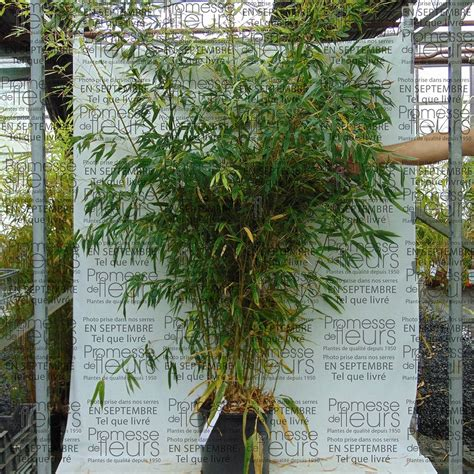 phyllostachys nigra henonis bambou g 233 ant