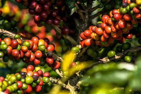 Shop thousands of trees pictures you'll love at wayfair. Coffee Beans On Coffee Tree Stock Photo - Download Image Now - iStock