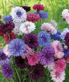 Tall Mixed Cornflower Color