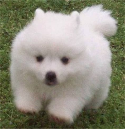 toy american eskimo dogs and puppies for sale