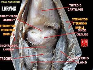 Cricothyroid ligament - Wikipedia, the free encyclopedia