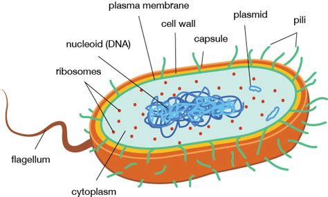 Biology Prokaryotic Cell Structure Function Shmoop