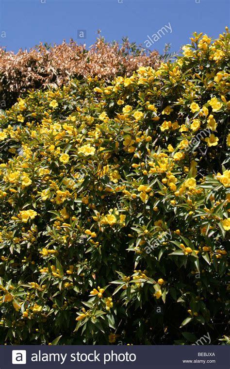 gelb blühender strauch gelb bl 252 hender strauch genommen in johannesburg s 252 dafrika
