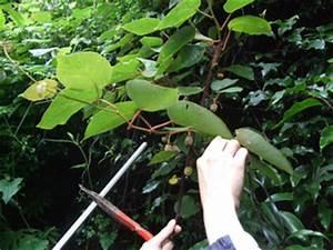 Tailler Les Kiwis : kiwi comment avoir fleurs et fruits sur un actinidia ~ Farleysfitness.com Idées de Décoration