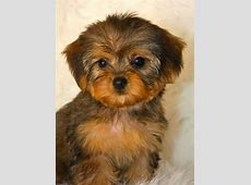 Yorkie Poo Puppies, Rescue, Pictures, Information