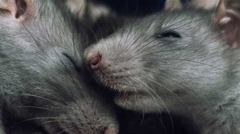 Ratten Im Garten > Garten Ratgeber