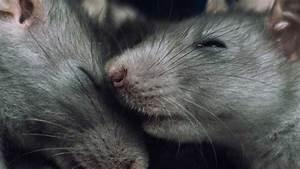 Wie Vertreibt Man Ratten : ratten im garten garten ratgeber ~ Eleganceandgraceweddings.com Haus und Dekorationen
