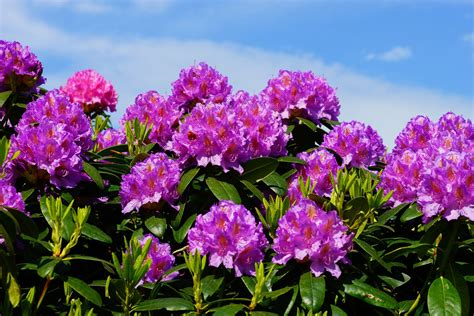 Purple Kitchen Decorating Ideas - the difference between rhododendrons and azaleas