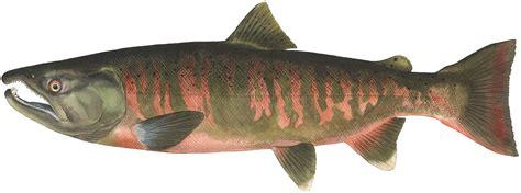 Masu - Wild Salmon Center