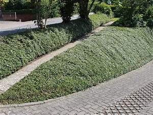 Steilen Hang Bepflanzen : zwergmispel kriechmispel 39 streibs findling ~ Lizthompson.info Haus und Dekorationen