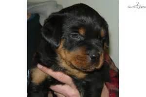 German Rottweiler Puppies Wisconsin