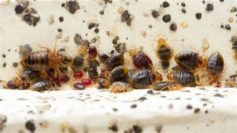 Rid Of Bed Bugs by Bed Bugs Produce Histamines That Linger For Months After