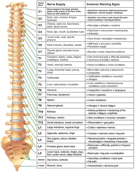 spinal nerves  close  reference chart rumbaugh   action chiropractic