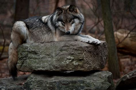 Wolf Laying Down On Rock
