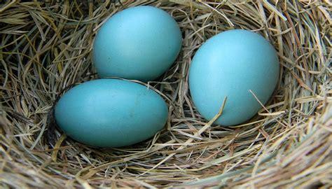 Why do Robins lay blue eggs?-139693