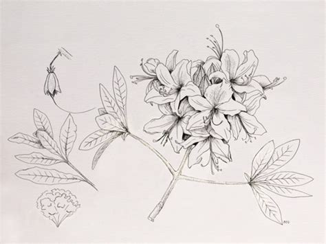 how to draw a rhododendron western azalea pen ink natural science illustration pinterest science illustration and
