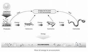 Energy Flows  U0026 Storage Through An Ecosystem