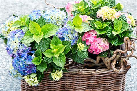 hortensien im topf 187 pflegetipps