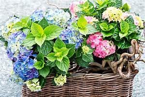 Welche Pflanzen Passen Gut Zu Hortensien : hortensien im topf pflegetipps ~ Heinz-duthel.com Haus und Dekorationen