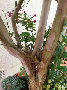 Taille Du Lilas Des Indes : le lilas des indes inspirations desjardins ~ Nature-et-papiers.com Idées de Décoration