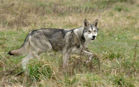 cinema le royal mont de marsan des loups au cin 233 ma le royal 224 mont de marsan sud ouest fr