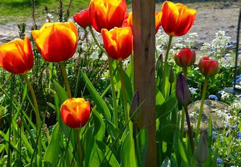 Orange Pilze Im Garten by Tulpen Im Garten Tulpen Im Garten Foto Bild Pflanzen